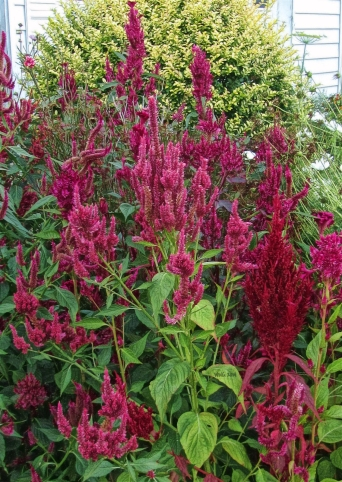 lots-more-red-celosias