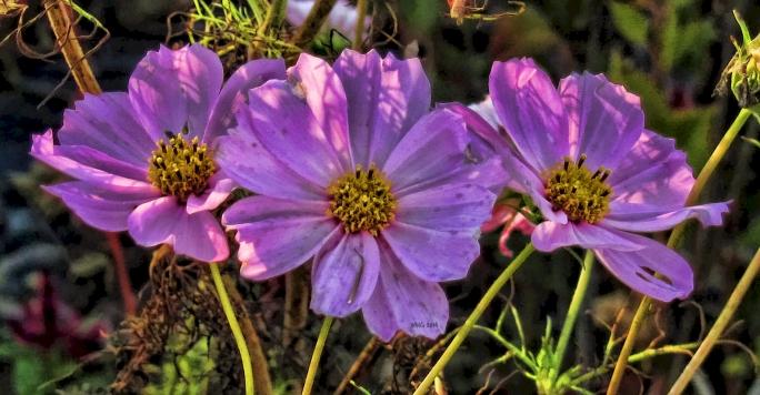 pastel-pink-cosmos