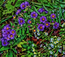 purple-aster-and-white-calico-aster-signed