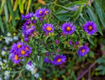 purple-aster-cluster-signed