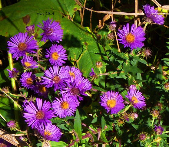 purple-aster-crop1-signed