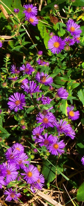 purple-aster-crop2-signed