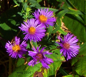 purple-aster-crop3-signed