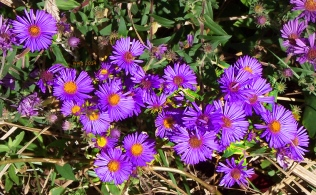 purple-aster-crop4-signed