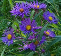 purple-aster-nice-colors-signed