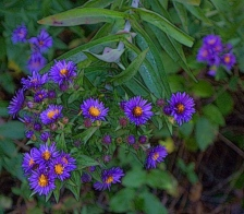 purple-aster-not-bad-pic-signed