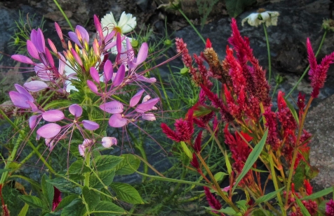 spider-flower-and-celosia