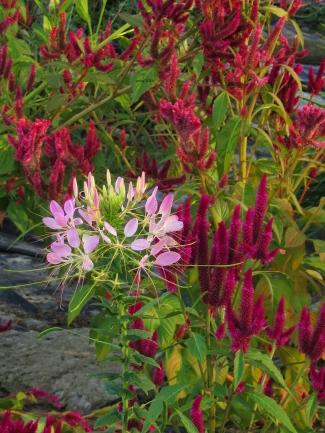 spiderflower-and-celosias-under-tree-closeup