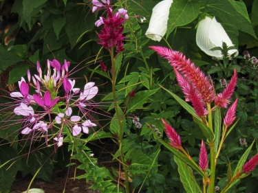 spiderflwr-and-celosia