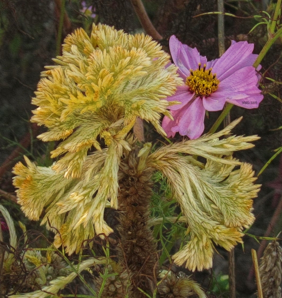 yellow-celosia-and-cosmos-bloom