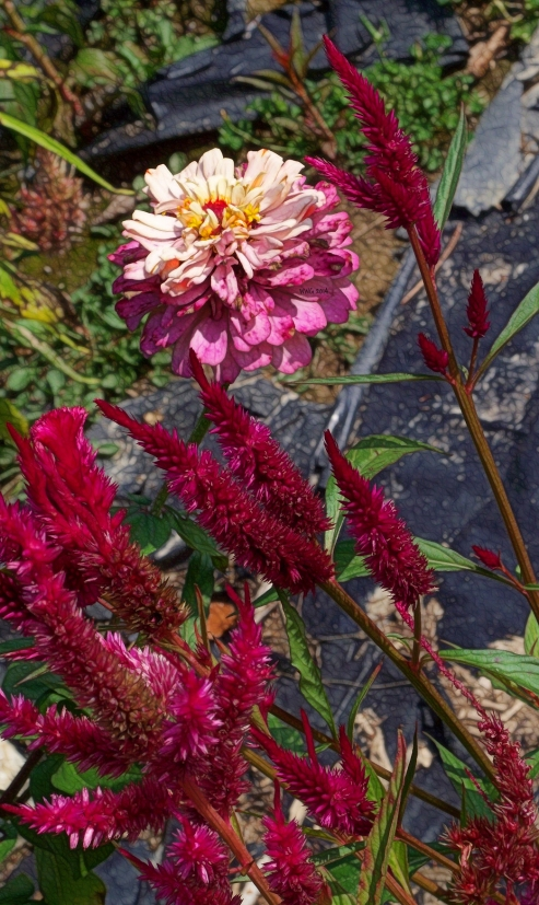 pink-and-white-zinnia-with-celosia