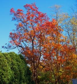 cemetery-trees-sassafras