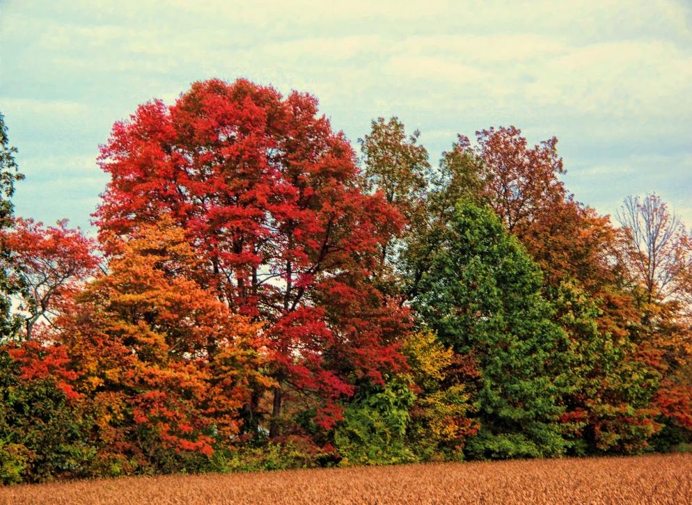 hedgerow-trees