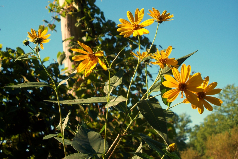 wild-sunflowers1