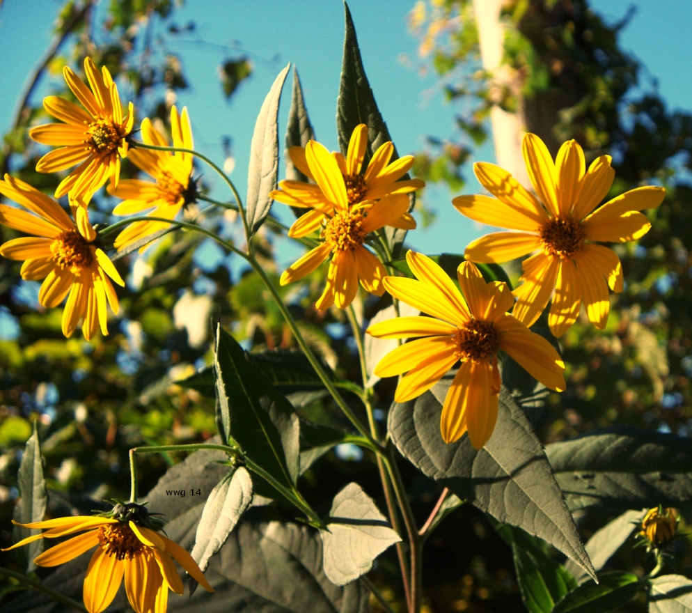 wild-sunflowers2