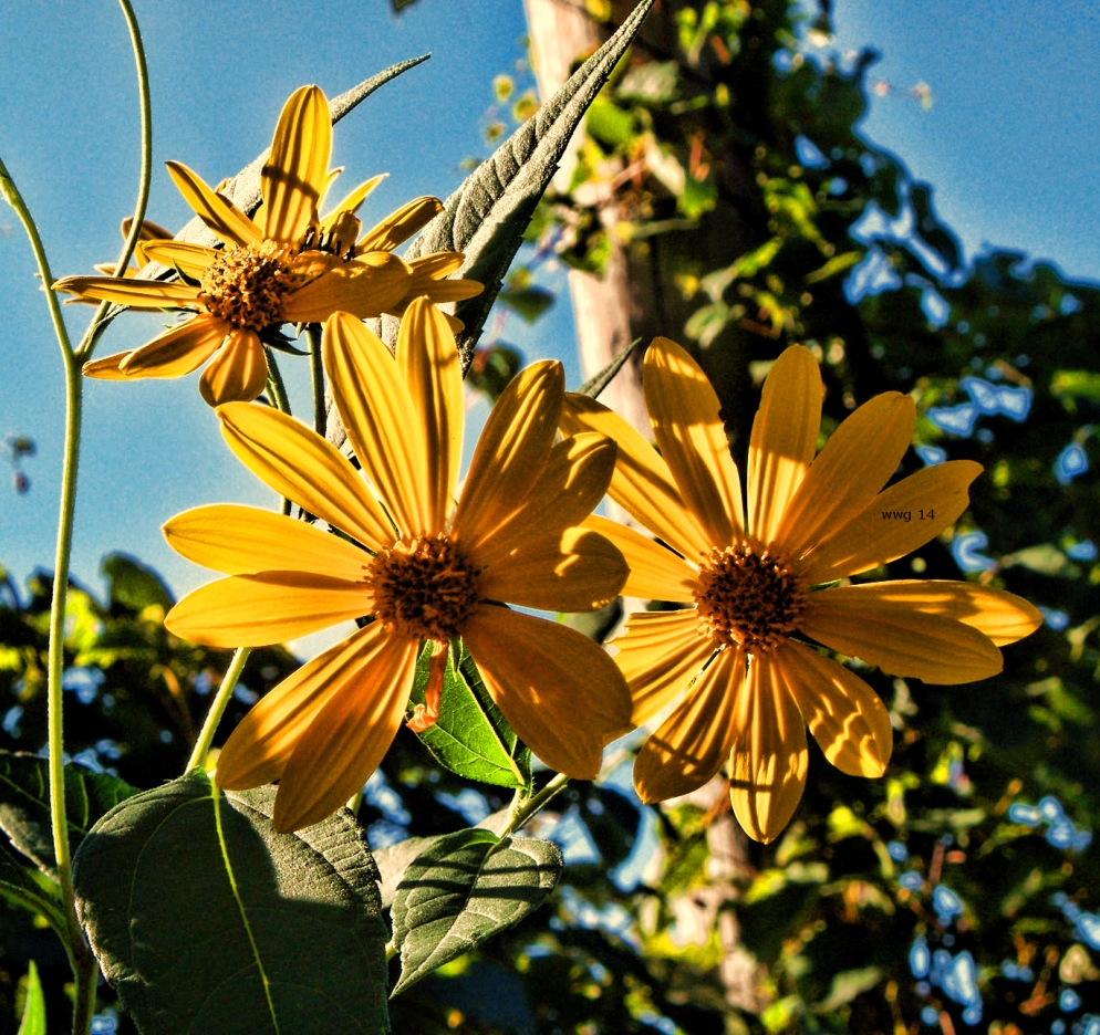 wild-sunflowers3